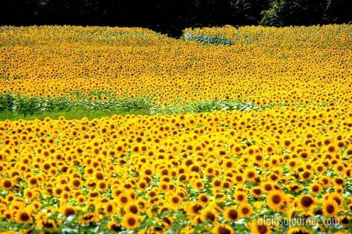 Hamilton Sunflower Farm Ontario