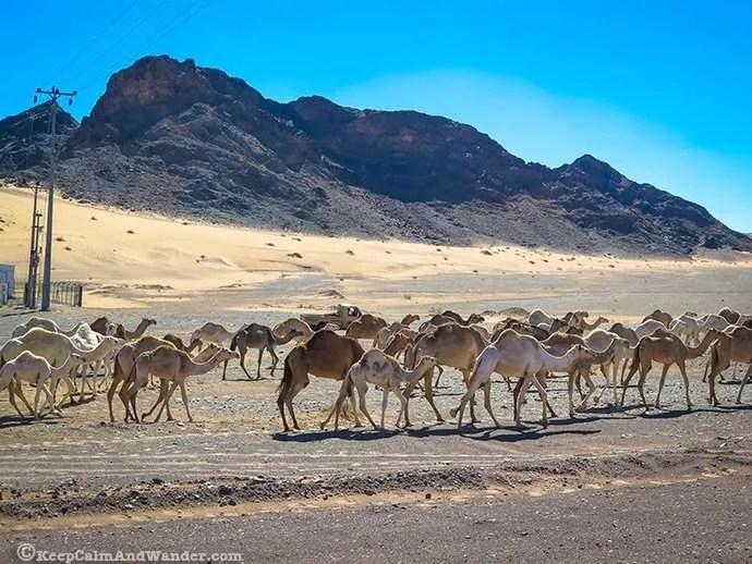 Oh Camel! (Saudi Arabia)