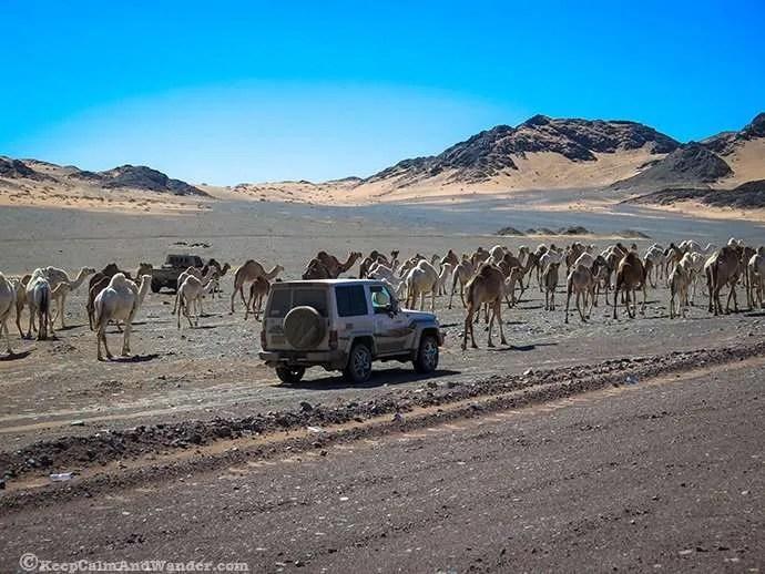 Oh Camel! (Saudi Arabia) Madian Saleh