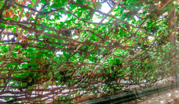 This is the Largest Vine in the World at Hampton Court Palace in London.