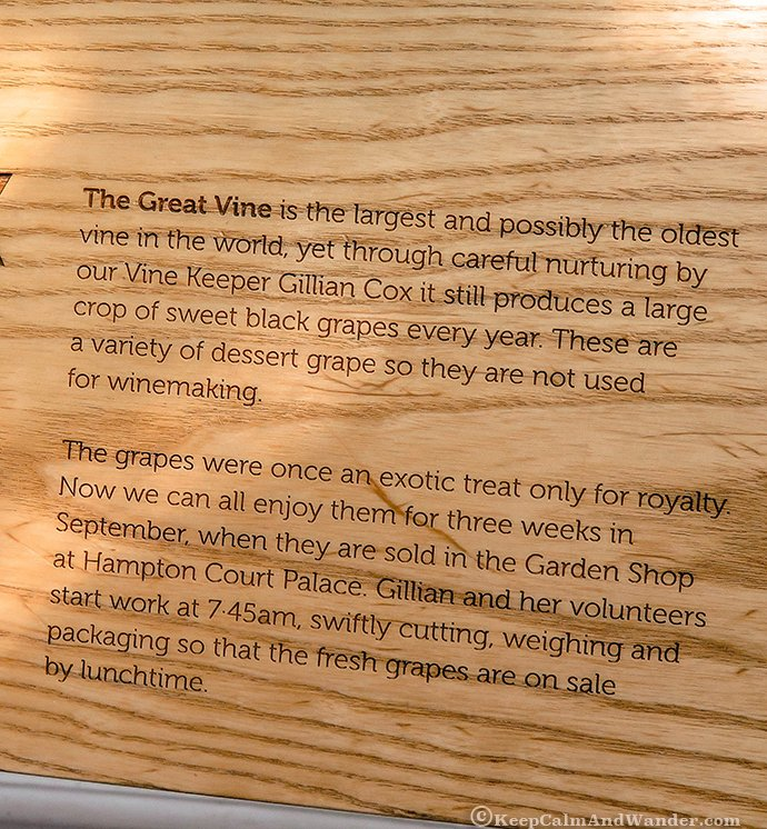 This is the World's Largest Vine at Hampton Court Palace in London.
