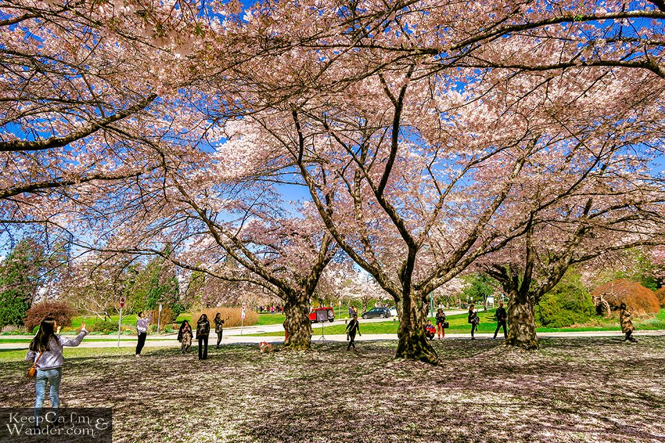 Cherry Blossoms at Queen Elizabeth Park in Vancouver Travel Blog