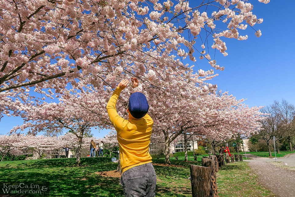 Cherry blossoms in Vancouver Canada