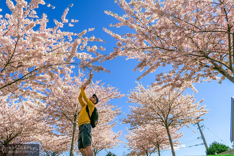 Spring Cherry Blossoms Vancouver