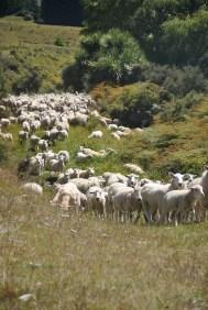 Sheep - Nouvelle Zélande