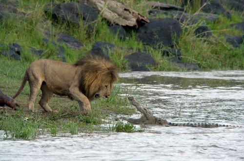 AFRICAN CATS Crocodile