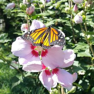 Monarch on pink flower