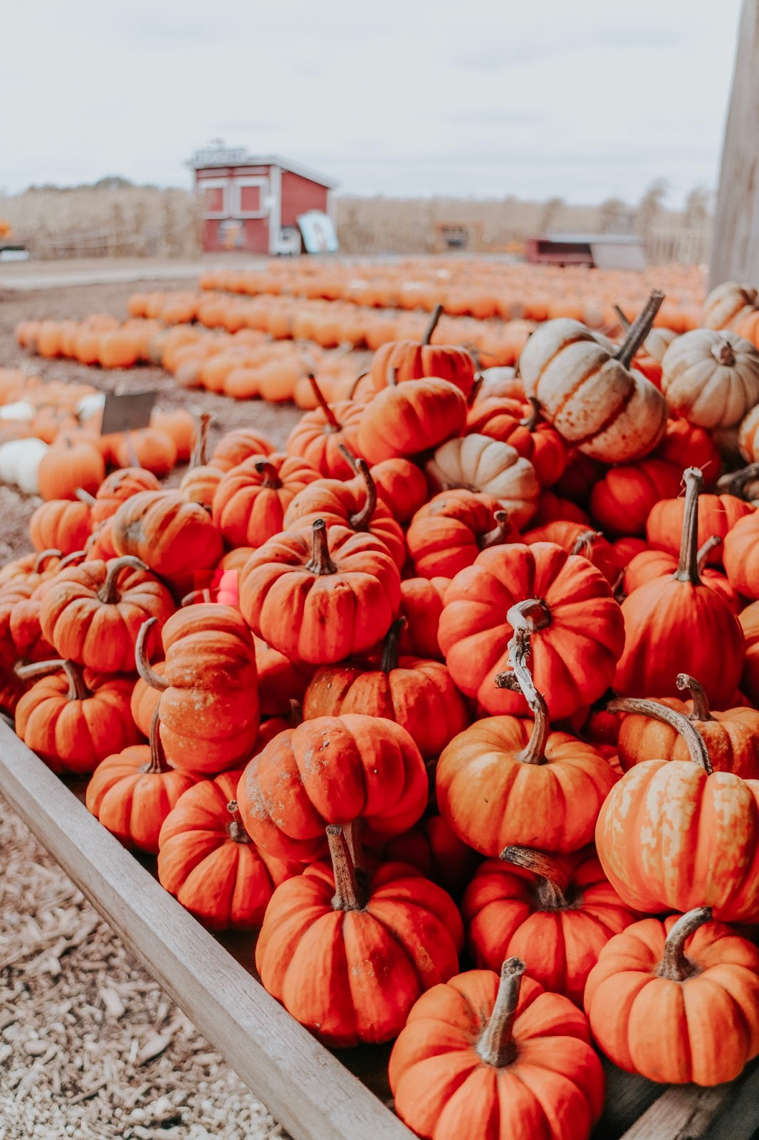 Colorful mini pumpkins at Schuster's Farm in Deerfield, Wisconsin