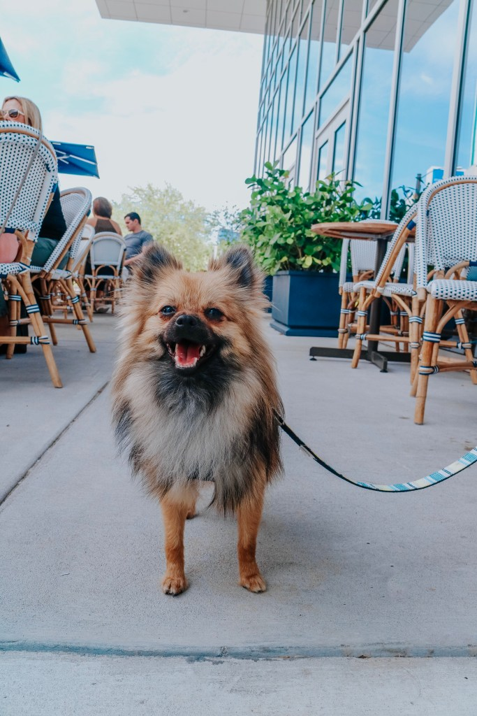 Tampa Bay blogger's Pomeranian puppy enjoying brunch outside on the patio at The Library in St. Petersburg, Florida