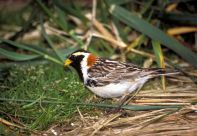 Lapland longspur, Calcarius lapponicus. Photo: U.S. Fish and Wildlife Service National Digital Library – By PD-USGov-Interior-FWS [Public domain], via Wikimedia Commons
