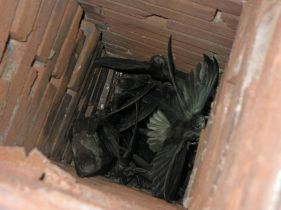 Chimney swifts in a chimney in Perryville, Mo. Photo: Greg Schechter, Wikimedia Commons, (CC BY 2.0)