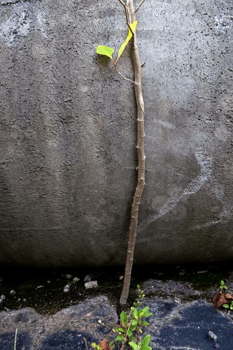 A courageous sycamore sprouts in a crumbling parking lot at the old Tyvola Road coliseum site. Photo: Meredith Hebden