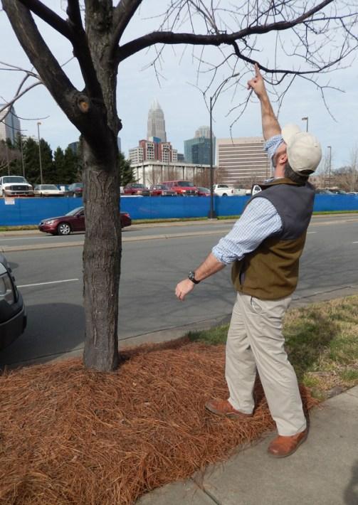 City Arborist Tim Porter points to damage to a street tree. Photo: Mae Israel