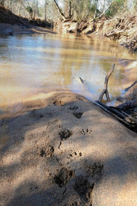 Raccoon and deer tracks in the sand beside McAlpine Creek. Photo: Nancy Pierce