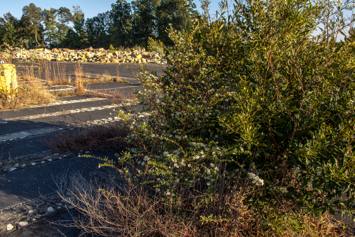 """Wax myrtle and aster in a newly growing """"Piedmont prairie"""" at a crumbling parking lot at the old Tyvola Road coliseum site. Photo: Meredith Hebden"""