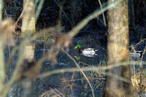 A mallard swims in the wetland along the Four Mile Creek Greenway. Photo: Nancy Pierce