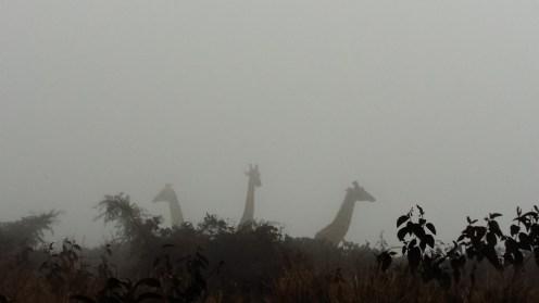 Girafs @ Ngorongoro