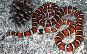sonoran_mountain_king_snake