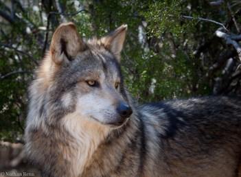 SWCCwolf by Nathan Renn