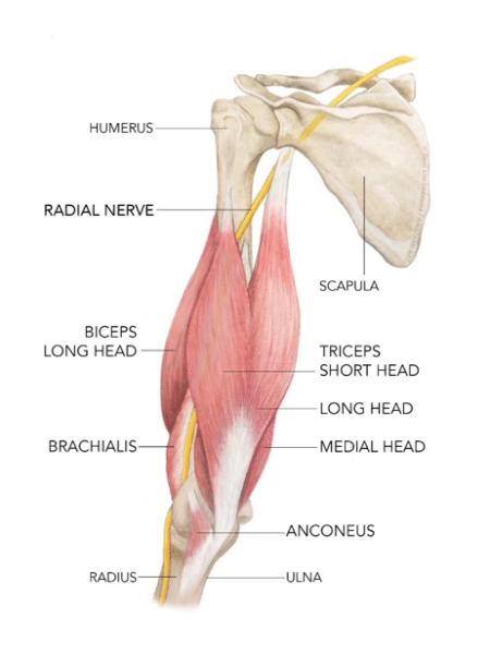 tricep anatomy