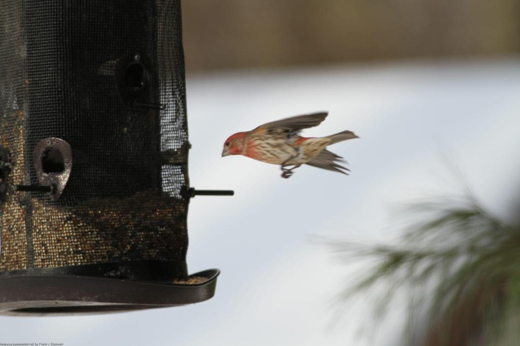 Backyard feeder 075