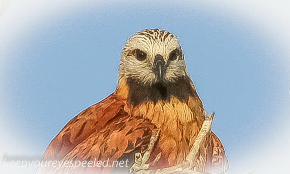 Black Collared hawk 2 (9 of 10)