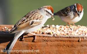 Chipping Sparrow 13 (1 of 1)