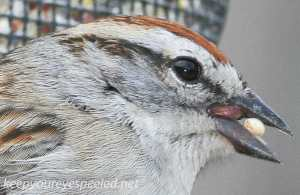Chipping Sparrow 18 (1 of 1)