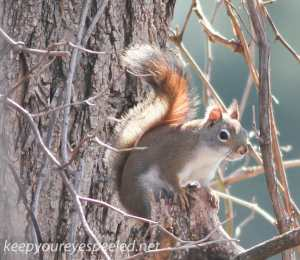 red squirrel (1 of 1)