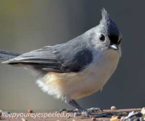 tufted titmouse 2 (1 of 1)