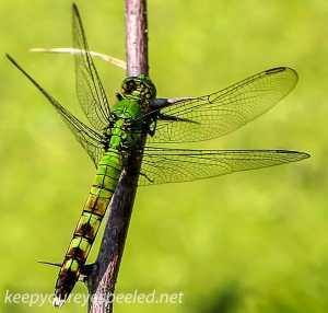 PPL Wetlands dragonfly (1 of 1)