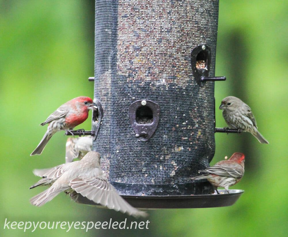 backyard feeder  7 (1 of 1)