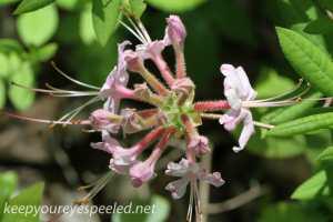 honeysuckle  PPL Wetlands  (1 of 1)