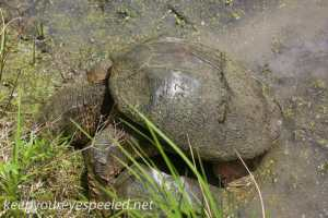 snapping turtle and PPL Wetlands  (25 of 26)