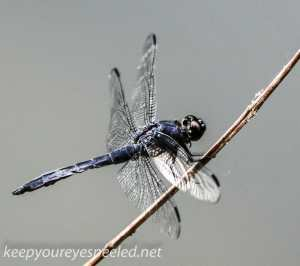 Lehigh Canal  dragonfly 021 (1 of 1)
