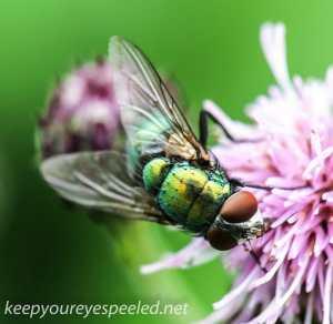 macro thistle  bug 61 (1 of 1)
