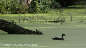 PPl Wetlands duck and turtle (1 of 1)