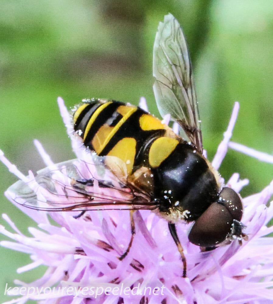 macro wasp 127 (1 of 1)