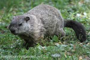 PPL Riverlands groundhog  (2 of 3)