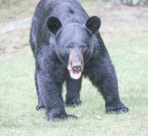 Bear 017 (1 of 1)