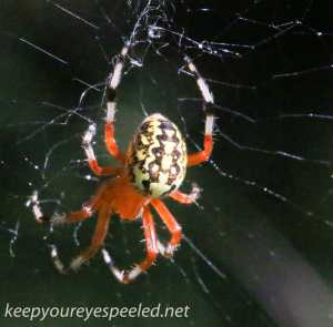 Marbled orb spider 127 (1 of 1)