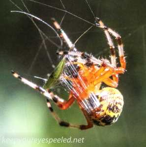 Marbled orb spider 134 (1 of 1)