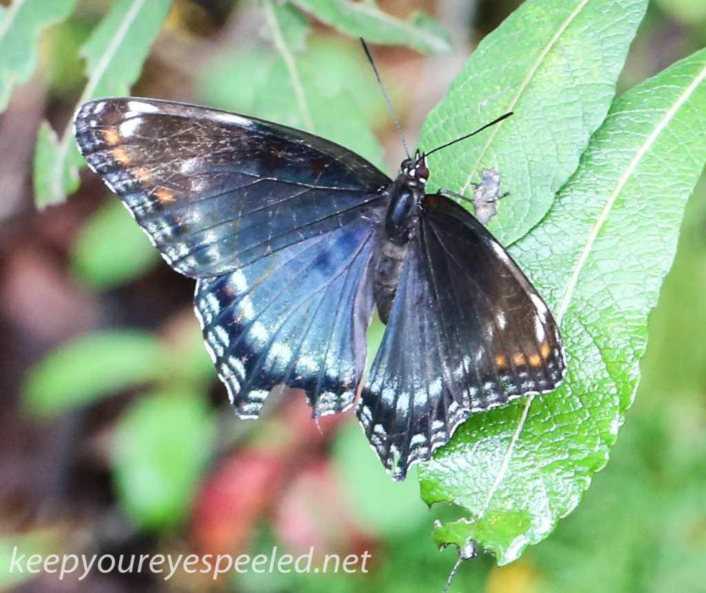Mushroom walk butterfly 34 (1 of 1)