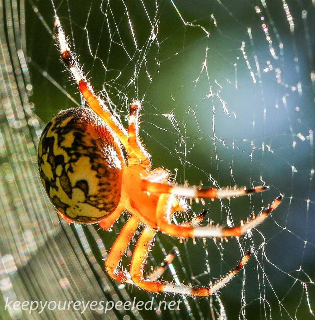 marbled orb spider 175- (1 of 1)