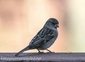 Backyard sparrow 014- (1 of 1)
