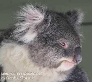 Bonorong koala-12