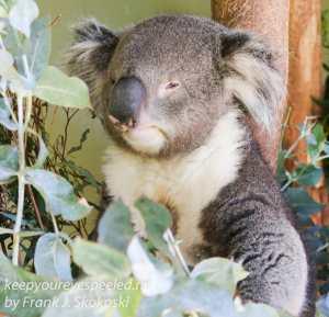 Bonorong koala-20