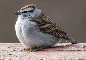 back yard birds-15