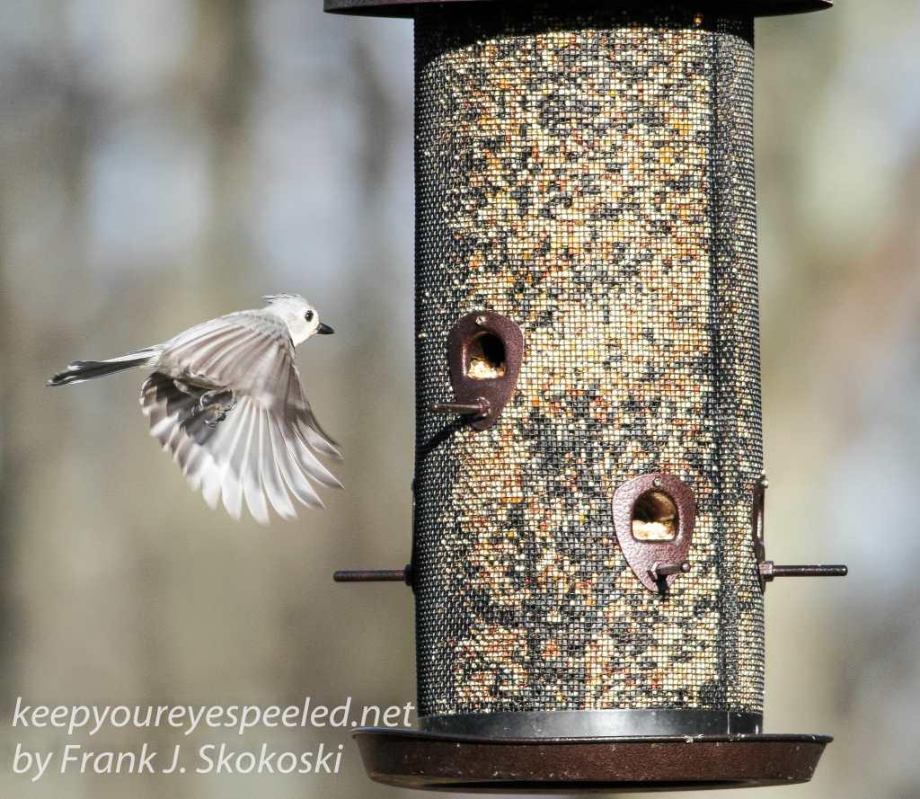 back yard birds-3