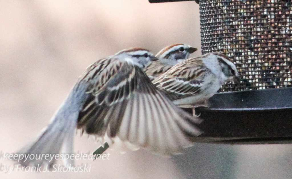 Backyard feeders -8